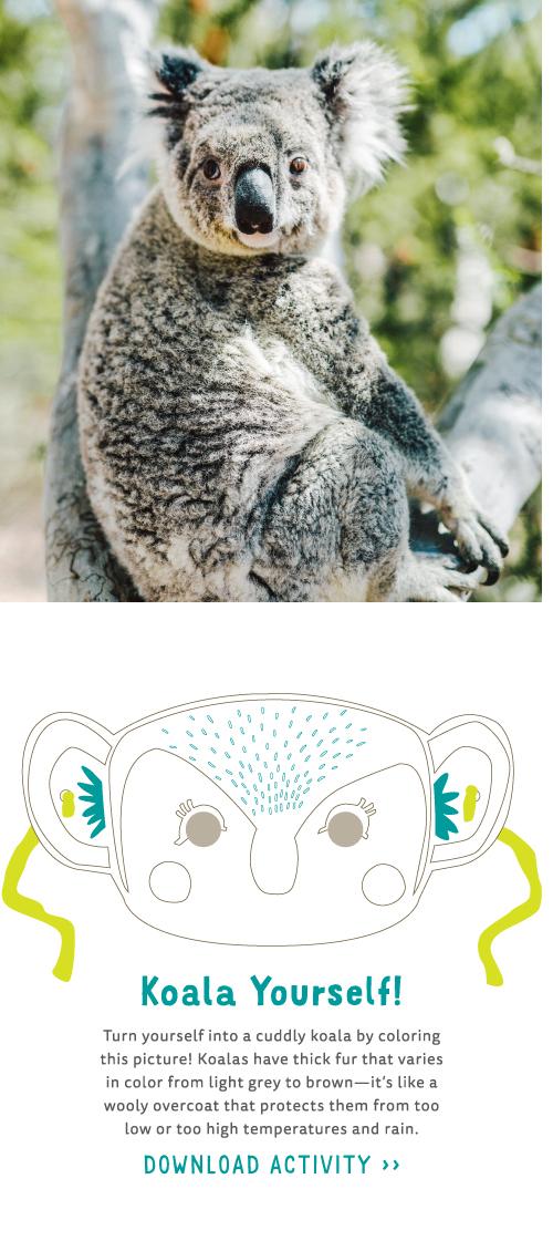image of a Koala bear in its natural habitat